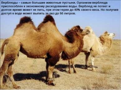 Верблюды – самые большие животные пустыни. Организм верблюда приспособлен к э...