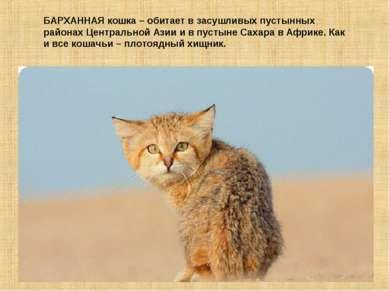 БАРХАННАЯ кошка – обитает в засушливых пустынных районах Центральной Азии и в...