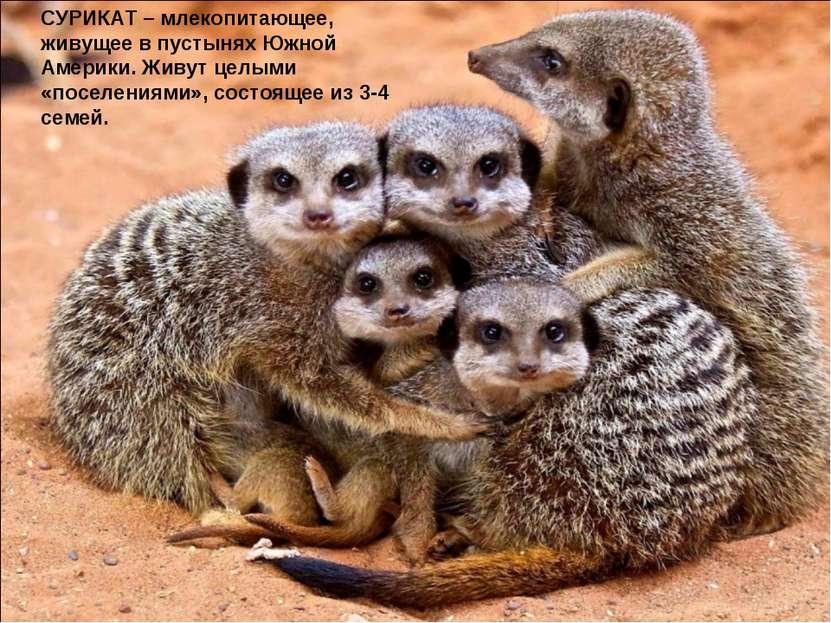 СУРИКАТ – млекопитающее, живущее в пустынях Южной Америки. Живут целыми «посе...