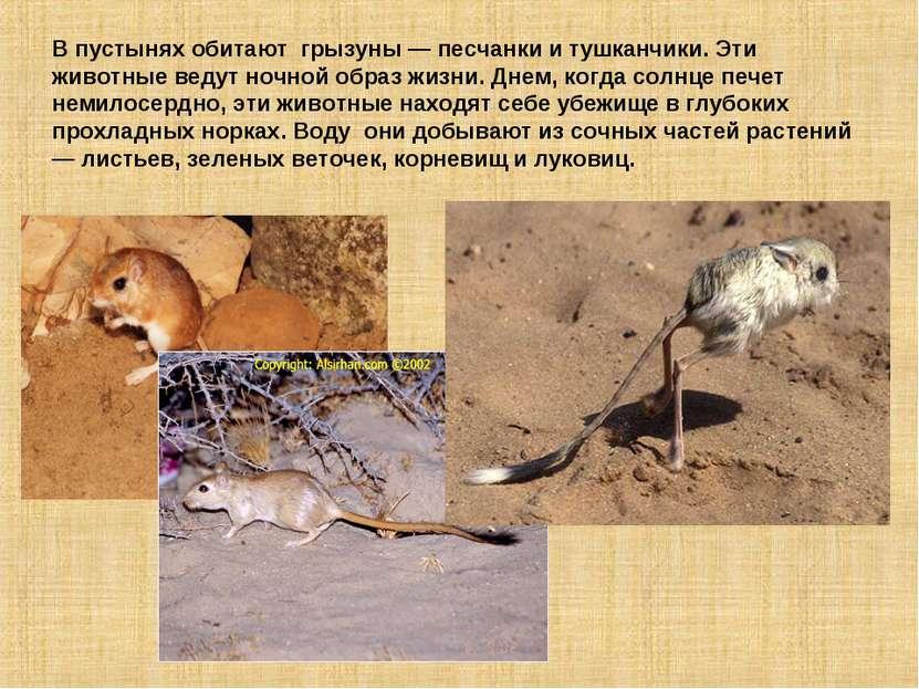 В пустынях обитают грызуны — песчанки и тушканчики. Эти животные ведут ночной...