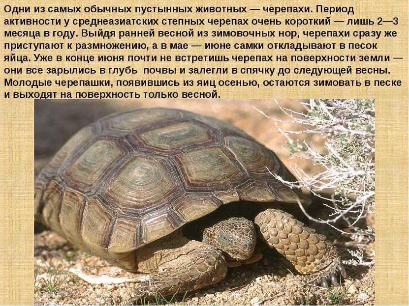 Одни из самых обычных пустынных животных — черепахи. Период активности у сред...