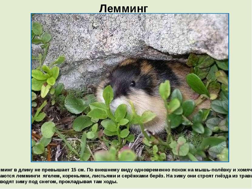 Лемминг Лемминг в длину не превышает 15 см. По внешнему виду одновременно пох...
