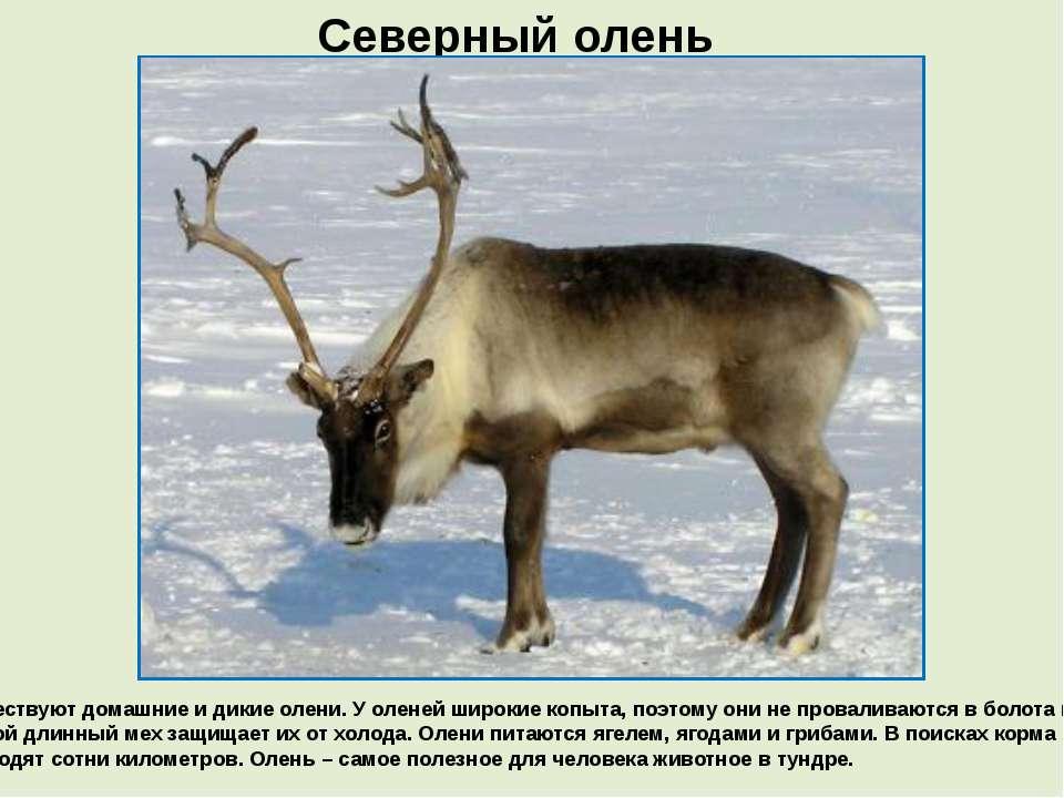 Северный олень Существуют домашние и дикие олени. У оленей широкие копыта, по...