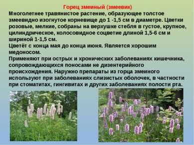 Горец змеиный (змеевик) Многолетнее травянистое растение, образующее толстое ...