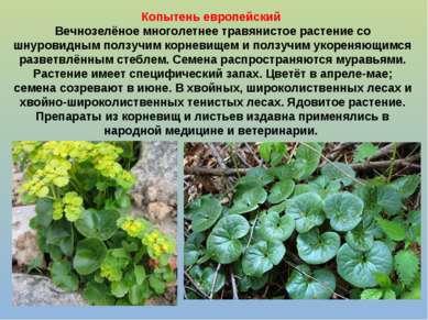 Копытень европейский Вечнозелёное многолетнее травянистое растение со шнурови...