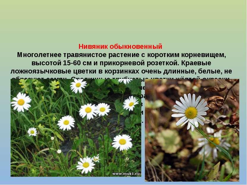 Нивяник обыкновенный Многолетнее травянистое растение с коротким корневищем, ...