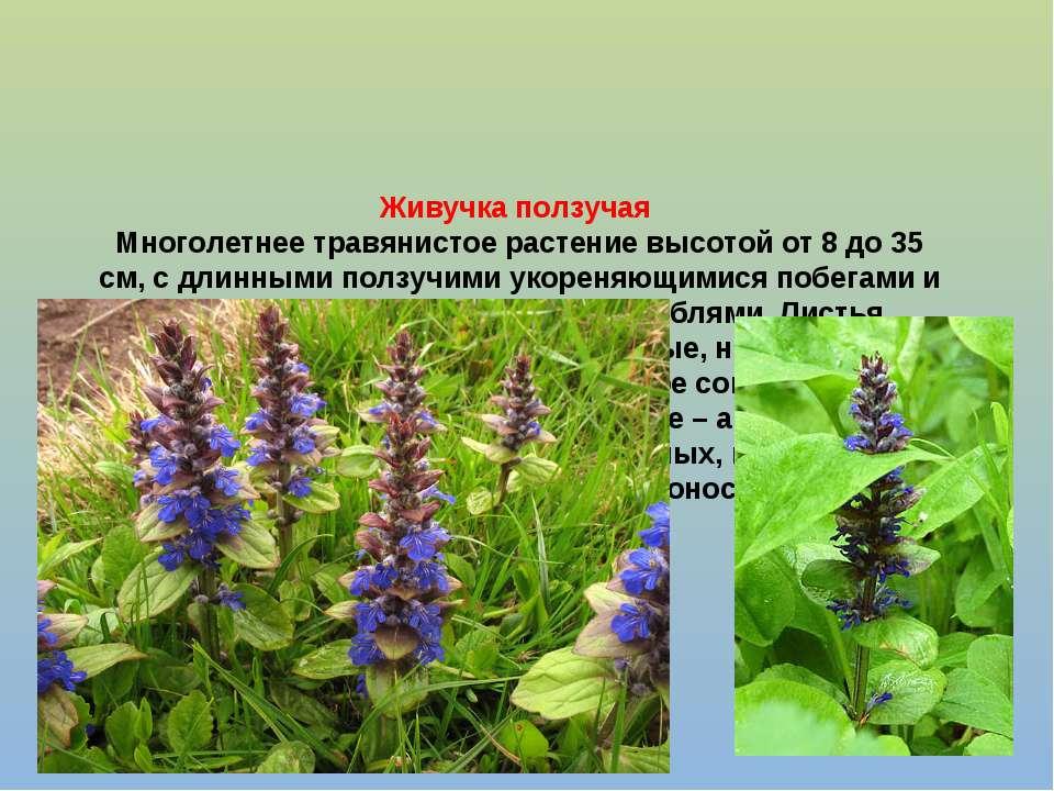 Живучка ползучая Многолетнее травянистое растение высотой от 8 до 35 см, с дл...