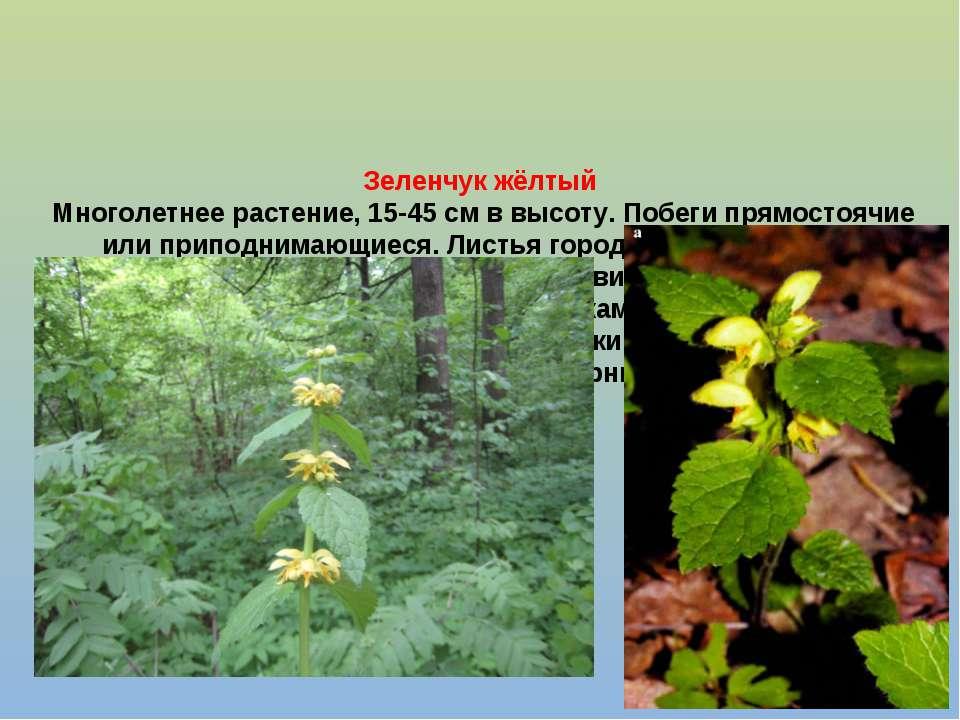 Зеленчук жёлтый Многолетнее растение, 15-45 см в высоту. Побеги прямостоячие ...