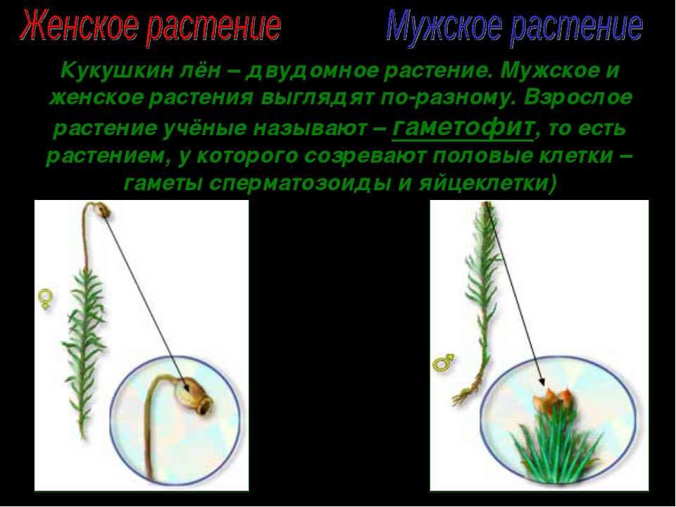 Кукушкин лён – двудомное растение. Мужское и женское растения выглядят по-раз...