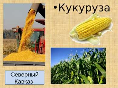 Кукуруза Северный Кавказ