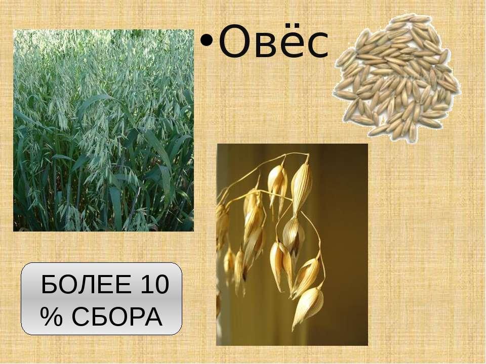 Овёс БОЛЕЕ 10 % СБОРА