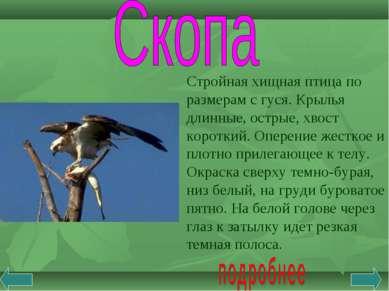 Стройная хищная птица по размерам с гуся. Крылья длинные, острые, хвост корот...