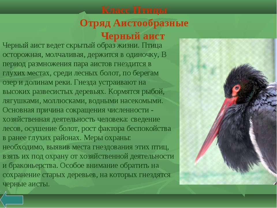 Черный аист ведет скрытый образ жизни. Птица осторожная, молчаливая, держится...