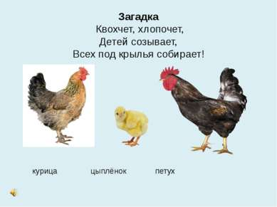Загадка Квохчет, хлопочет, Детей созывает, Всех под крылья собирает! курица ц...
