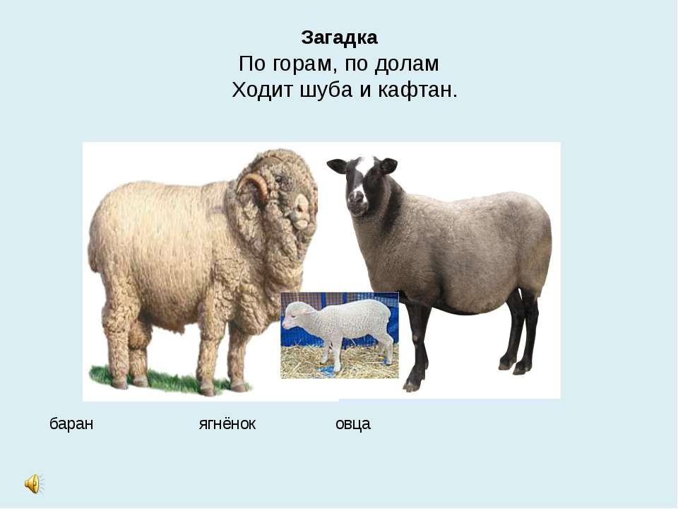 Загадка По горам, по долам Ходит шуба и кафтан. баран ягнёнок овца