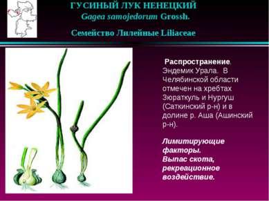 ГУСИНЫЙ ЛУК НЕНЕЦКИЙ  Gagea samojedorum Grossh.  Семейство Лилейные Lilia...