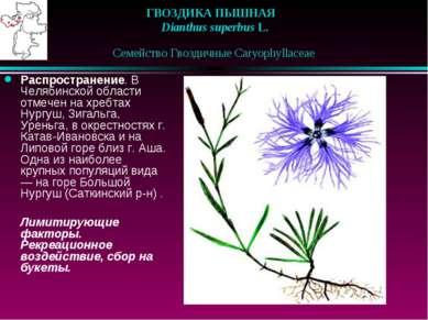 ГВОЗДИКА ПЫШНАЯ  Dianthus superbus L.  Семейство Гвоздичные Caryophyllace...