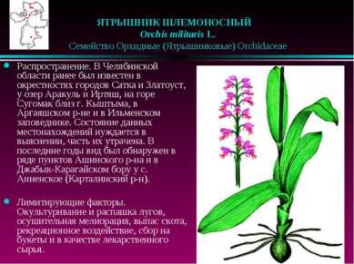 ЯТРЫШНИК ШЛЕМОНОСНЫЙ  Orchis militaris L.  Семейство Орхидные (Ятрышников...