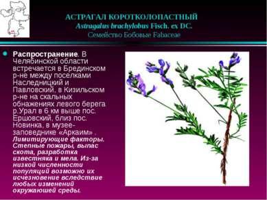 АСТРАГАЛ КОРОТКОЛОПАСТНЫЙ  Astragalus brachylobus Fisch. ex DC.  Семейств...