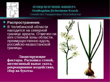 ПТИЦЕМЛЕЧНИК ФИШЕРА  Ornithogalum fischerianum Krasch.  Семейство Гиацинт...