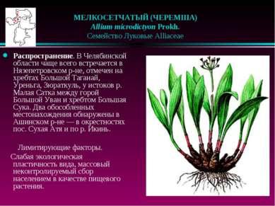 МЕЛКОСЕТЧАТЫЙ (ЧЕРЕМША)  Allium microdictyon Prokh.  Семейство Луковые Al...