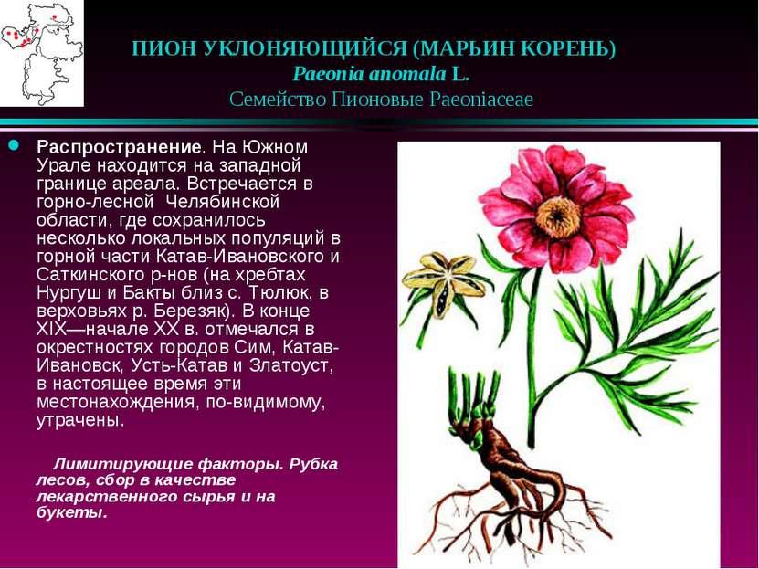 ПИОН УКЛОНЯЮЩИЙСЯ (МАРЬИН КОРЕНЬ)  Paeonia anomala L.  Семейство Пионовые...