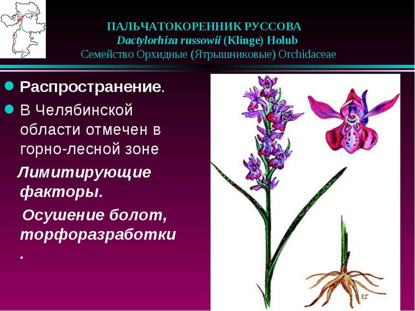 ПАЛЬЧАТОКОРЕННИК РУССОВА Dactylorhiza russowii (Klinge) Holub  Семейство ...