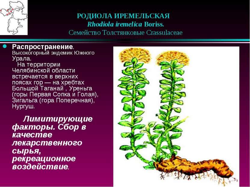 РОДИОЛА ИРЕМЕЛЬСКАЯ  Rhodiola iremelica Boriss.  Семейство Толстянковые C...