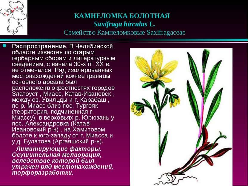 КАМНЕЛОМКА БОЛОТНАЯ  Saxifraga hirculus L.  Семейство Камнеломковые Saxif...