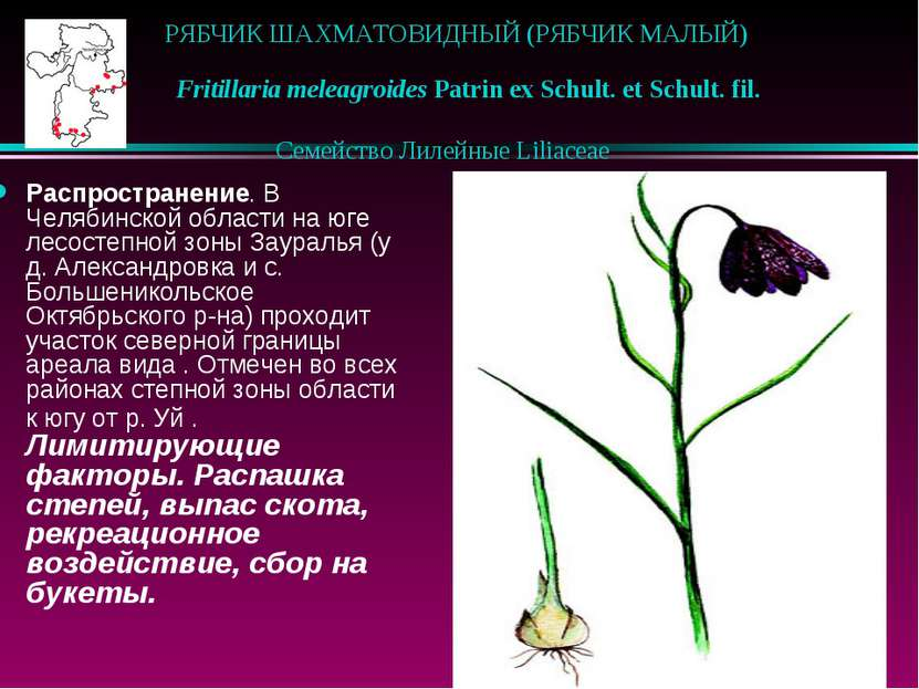 РЯБЧИК ШАХМАТОВИДНЫЙ (РЯБЧИК МАЛЫЙ)  Fritillaria meleagroides Patrin ex Sch...