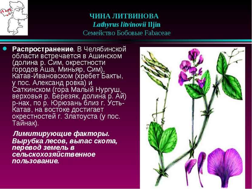 ЧИНА ЛИТВИНОВА  Lathyrus litvinovii Iljin  Семейство Бобовые Fabaceae Рас...