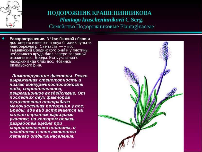 ПОДОРОЖНИК КРАШЕНИННИКОВА Plantago krascheninnikovii C.Serg.  Семейство ...