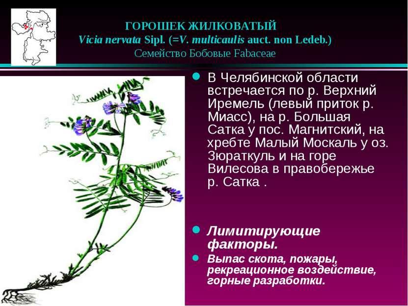 ГОРОШЕК ЖИЛКОВАТЫЙ  Vicia nervata Sipl. (=V. multicaulis auct. non Ledeb.) ...