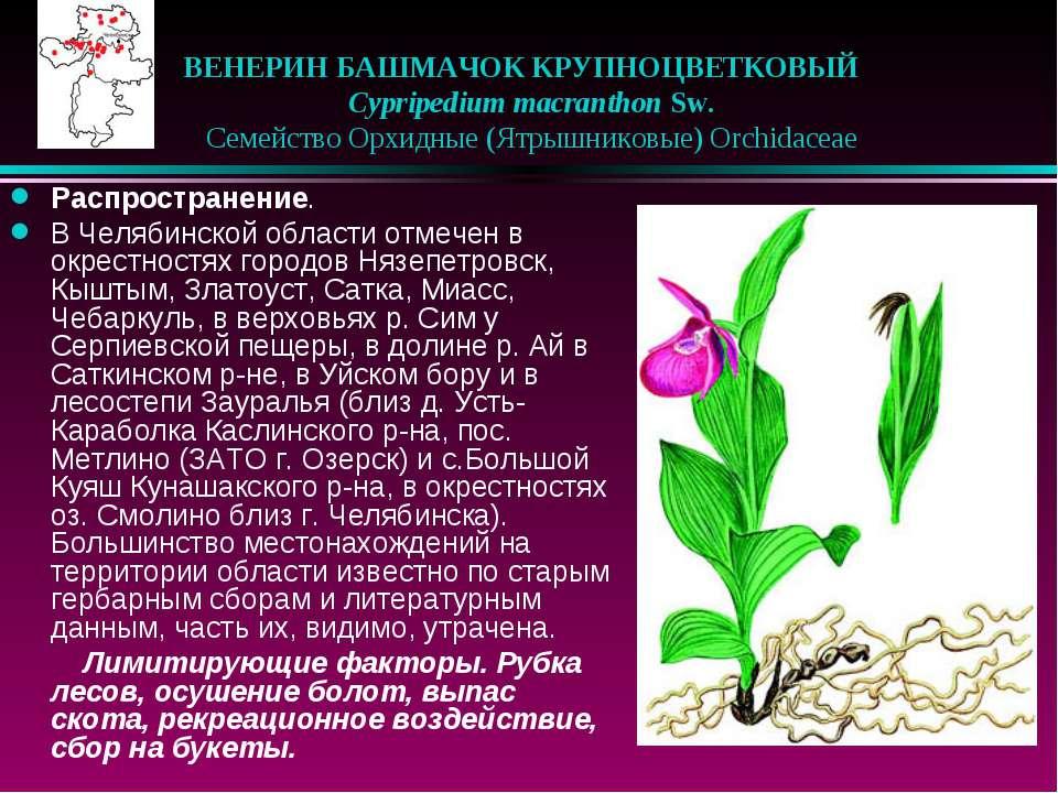 ВЕНЕРИН БАШМАЧОК КРУПНОЦВЕТКОВЫЙ  Cypripedium macranthon Sw.  Семейство О...