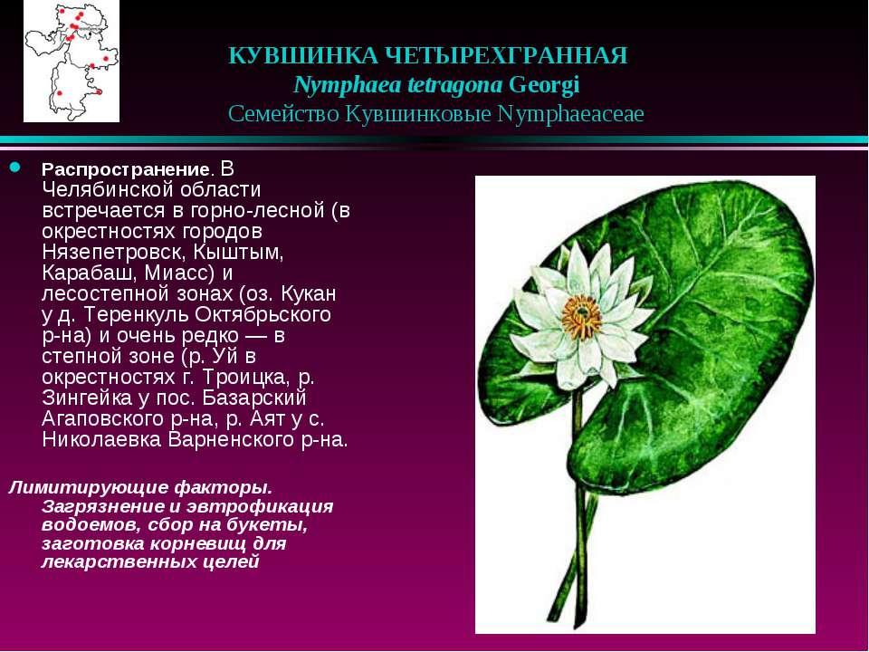 КУВШИНКА ЧЕТЫРЕХГРАННАЯ  Nymphaea tetragona Georgi  Семейство Кувшинковые...