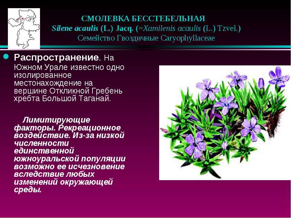 СМОЛЕВКА БЕССТЕБЕЛЬНАЯ  Silene acaulis (L.) Jacq. (=Xamilenis acaulis (L.) ...
