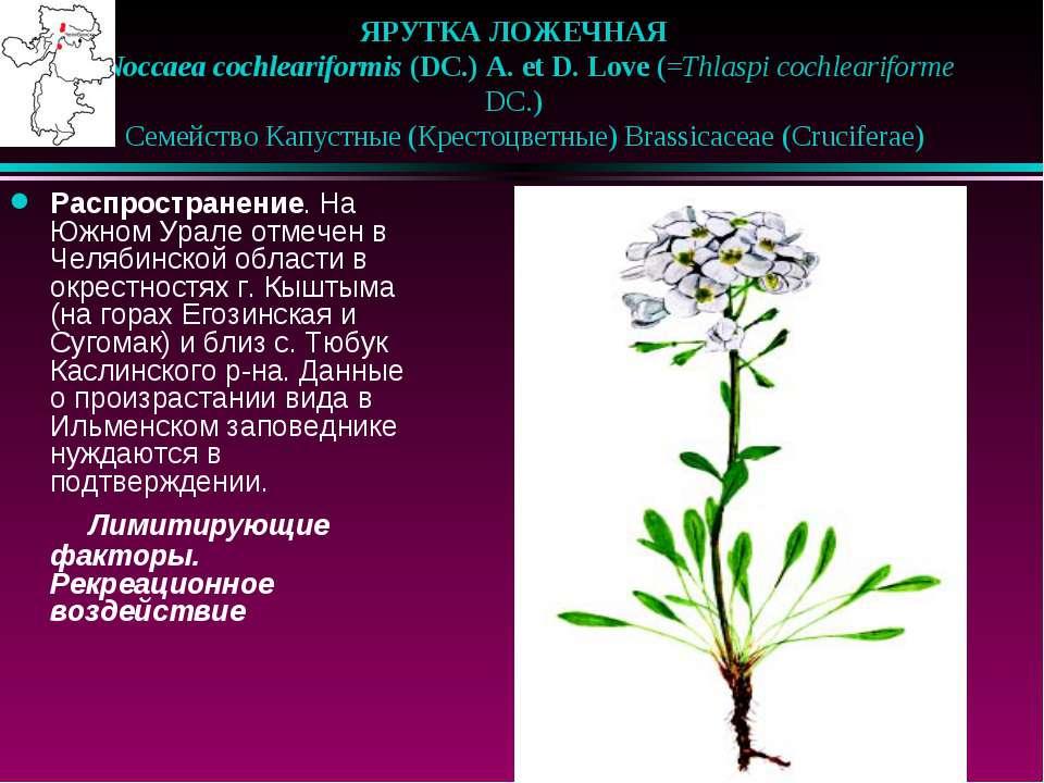 ЯРУТКА ЛОЖЕЧНАЯ  Noccaea cochleariformis (DC.) A. et D. Love (=Thlaspi coch...