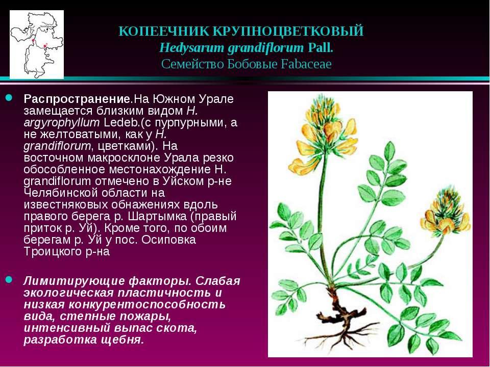 КОПЕЕЧНИК КРУПНОЦВЕТКОВЫЙ  Hedysarum grandiflorum Pall.  Семейство Бобовы...