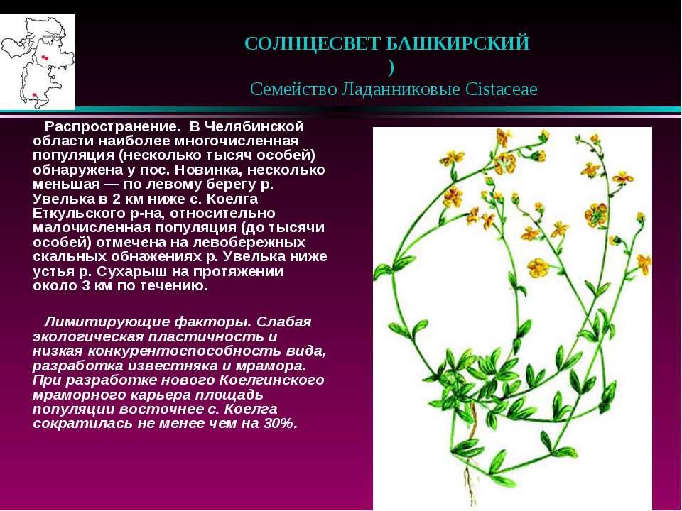 СОЛНЦЕСВЕТ БАШКИРСКИЙ )  Семейство Ладанниковые Cistaceae Распространение...