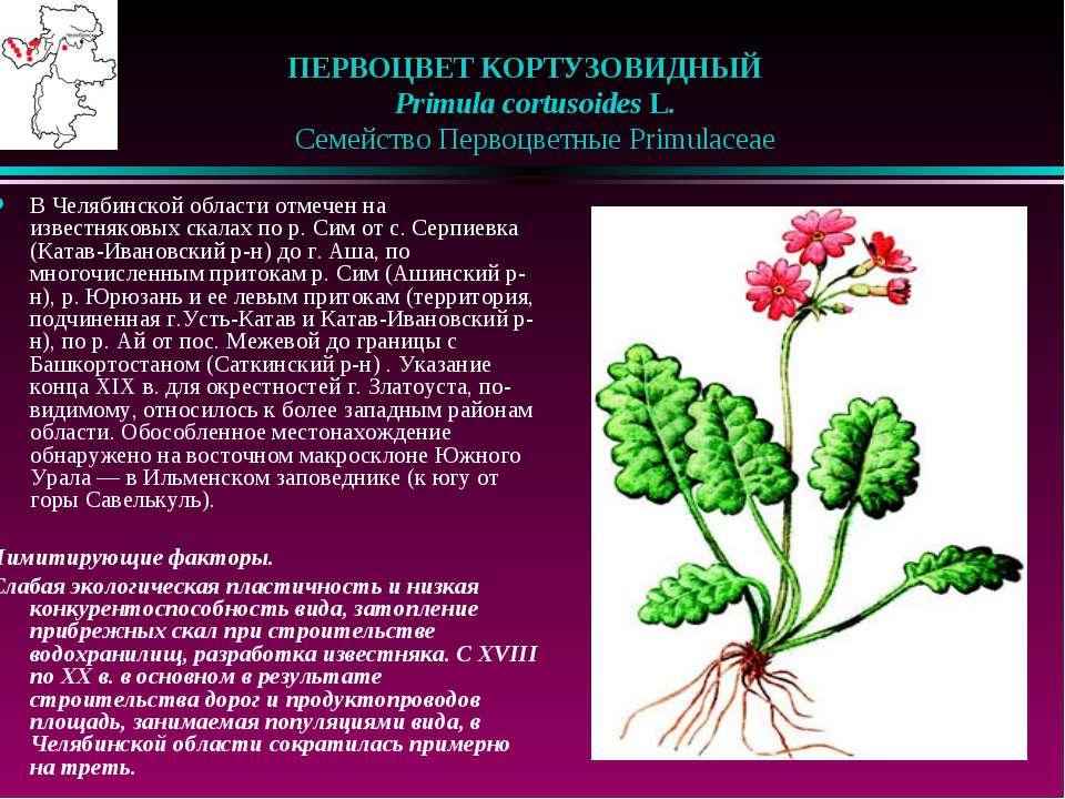 ПЕРВОЦВЕТ КОРТУЗОВИДНЫЙ  Primula cortusoides L.  Семейство Первоцветные P...