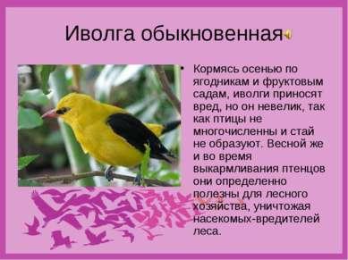 Иволга обыкновенная Кормясь осенью по ягодникам и фруктовым садам, иволги при...
