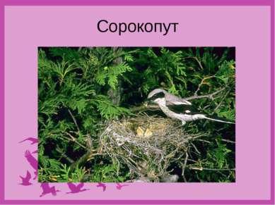 Сорокопут