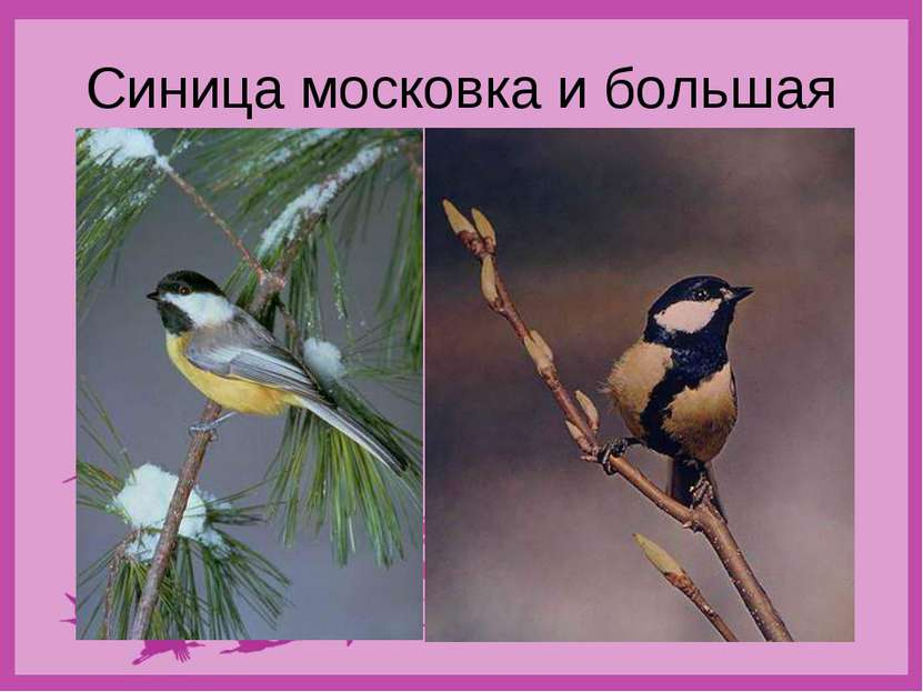 Синица московка и большая