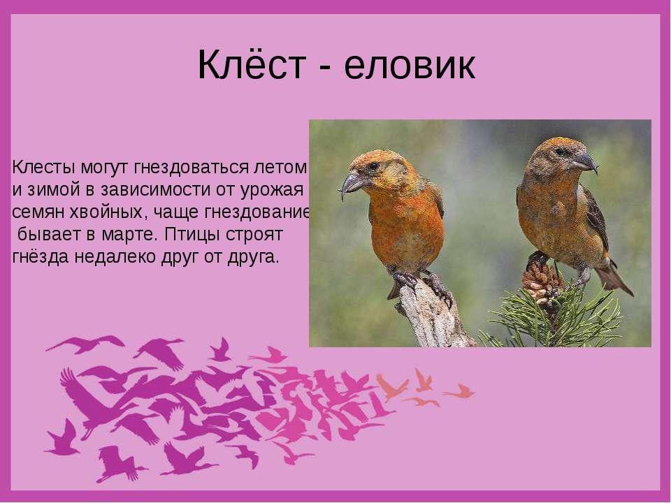 Клёст - еловик Клесты могут гнездоваться летом и зимой в зависимости от урожа...
