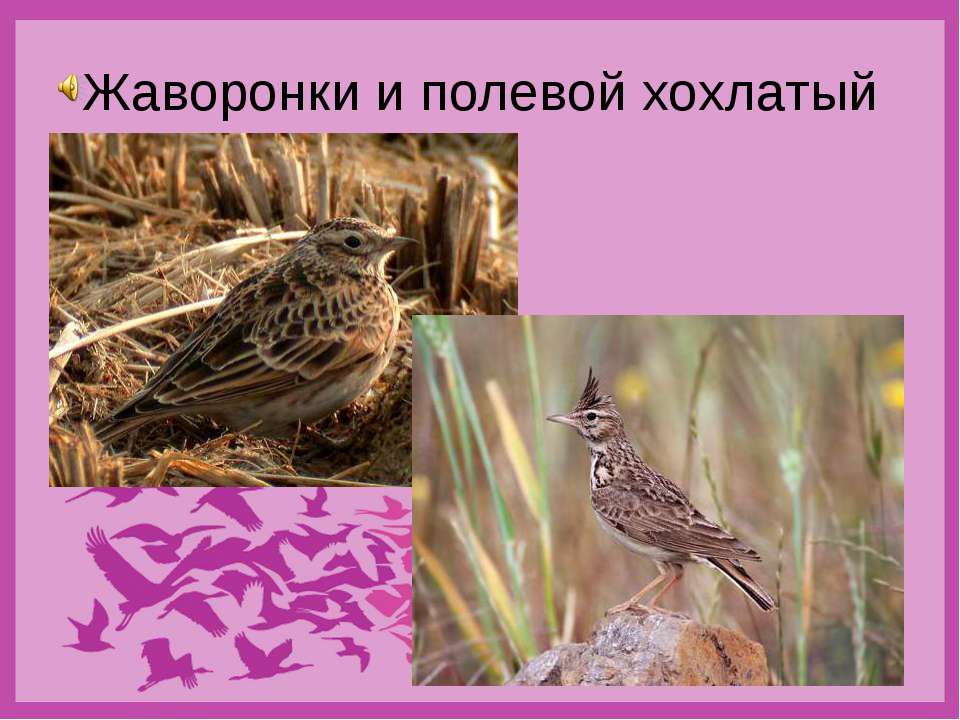 Жаворонки и полевой хохлатый