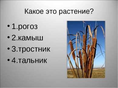 Какое это растение? 1.рогоз 2.камыш 3.тростник 4.тальник
