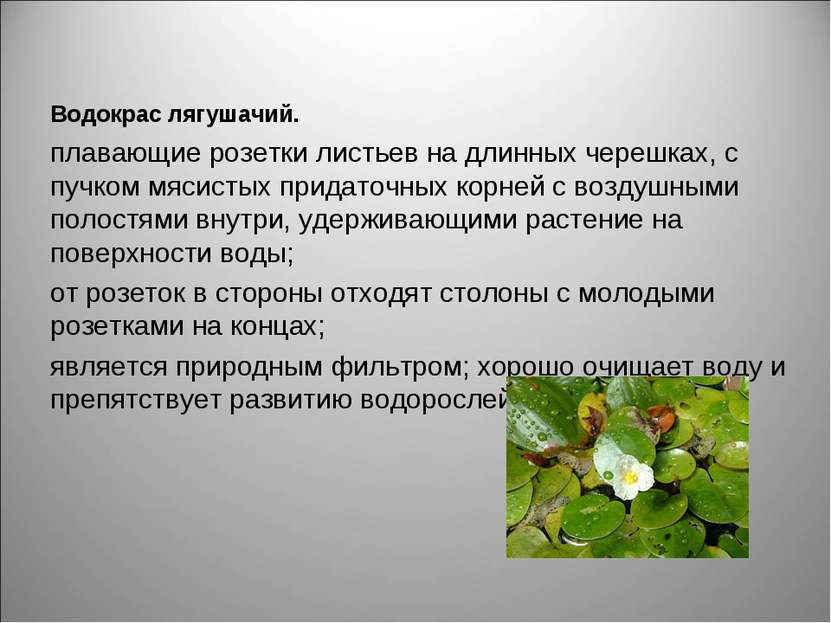 Водокрас лягушачий. плавающие розетки листьевна длинных черешках, с пучкомм...
