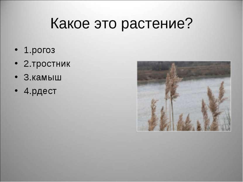 Какое это растение? 1.рогоз 2.тростник 3.камыш 4.рдест