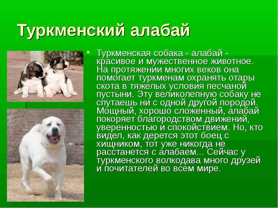 Туркменский алабай Туркменская собака - алабай - красивое и мужественное живо...