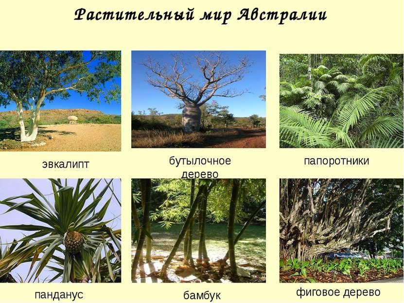 Растительный мир Австралии эвкалипт бутылочное дерево панданус бамбук папорот...